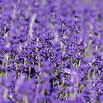 Hitchin's Lavender Fields