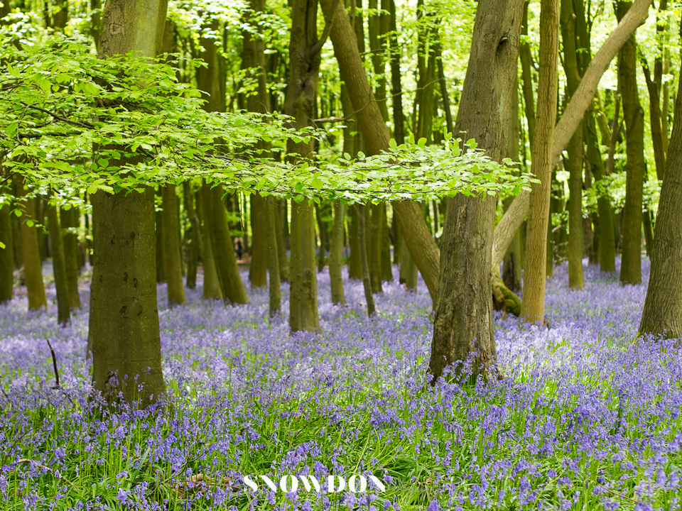Carpet of Bluebells. Photography by Ghene Snowdon