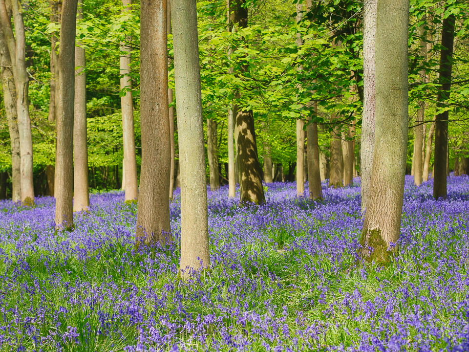 Lovely carpet of bluebells. Photography by Ghene Snowdon