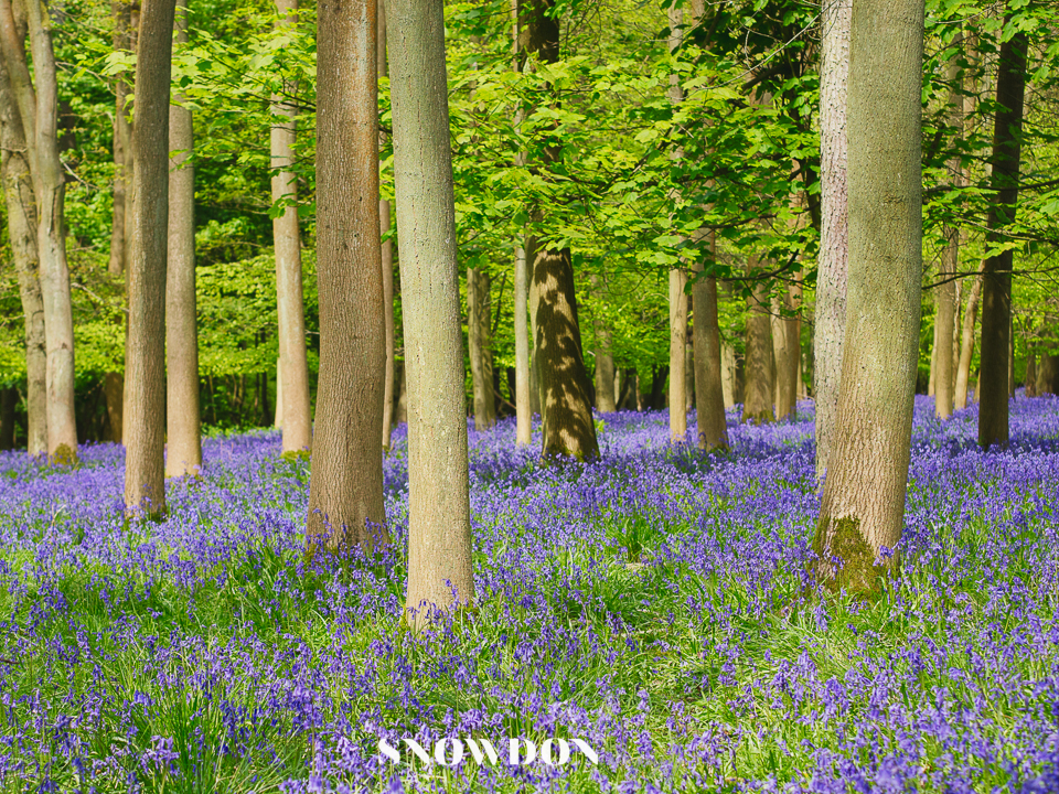 Bluebells at Ashridge Estate. Photography by Ghene Snowdon